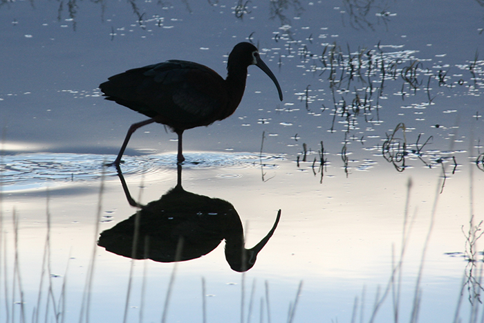 White Faced Ibis Silhoutte
