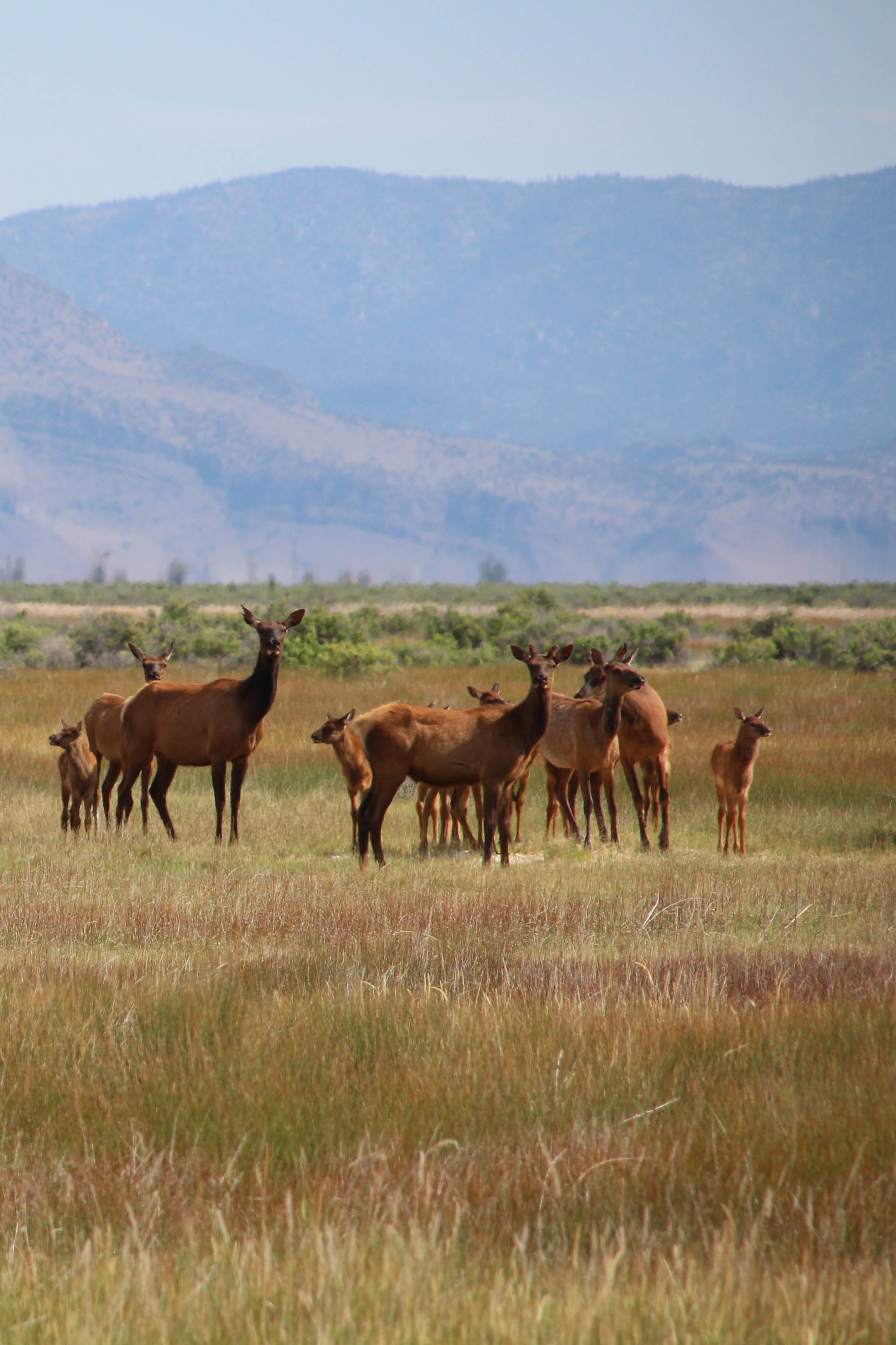 Elk And Calves