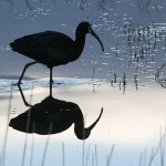 wp-White-faced-ibis-silhoutte